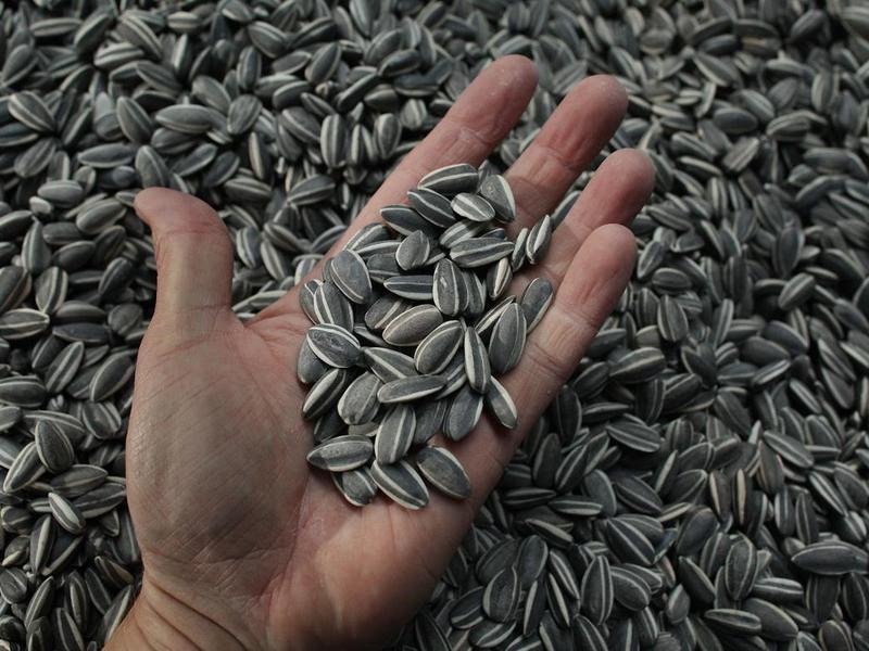 В Курск не пустили заражённые семена подсолнечника из Украины