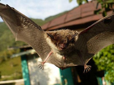 К чему снятся летучие мыши. Летучие мыши