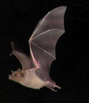 К чему приснилась летучая мышь