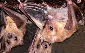К чему снится летучая мышь: общие толкования сна о ней в разных интерпретациях