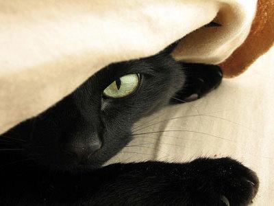Сонник черная кошка во сне к чему снится черная кошка