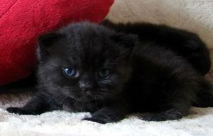 Значение сна про черную кошку