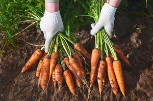 Что значит собирать морковь во сне?