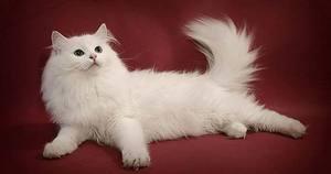 Если снятся белые коты и кошки - что это значит