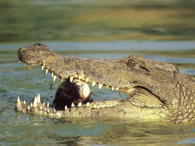 Сонник крокодил нападает к чему снится крокодил нападает во сне