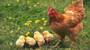 Видеть во сне цыплят