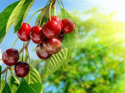 Сонник вишня в цвету