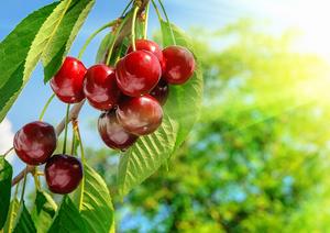 Сочная и спелая вишня