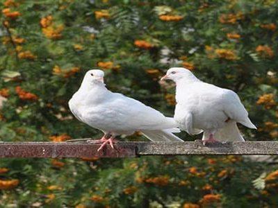 Сонник голубь к чему снится голубь во сне