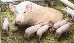 К чему снится свинья с поросятами