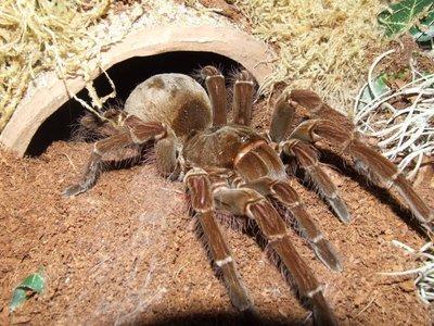 Черный паук сонник значение