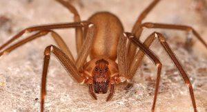 Видеть сон о коричневом пауке