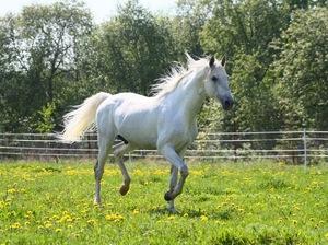 Белый конь – к чему снится
