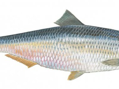Сонник рыба соленая селедка